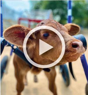 Cowvideo